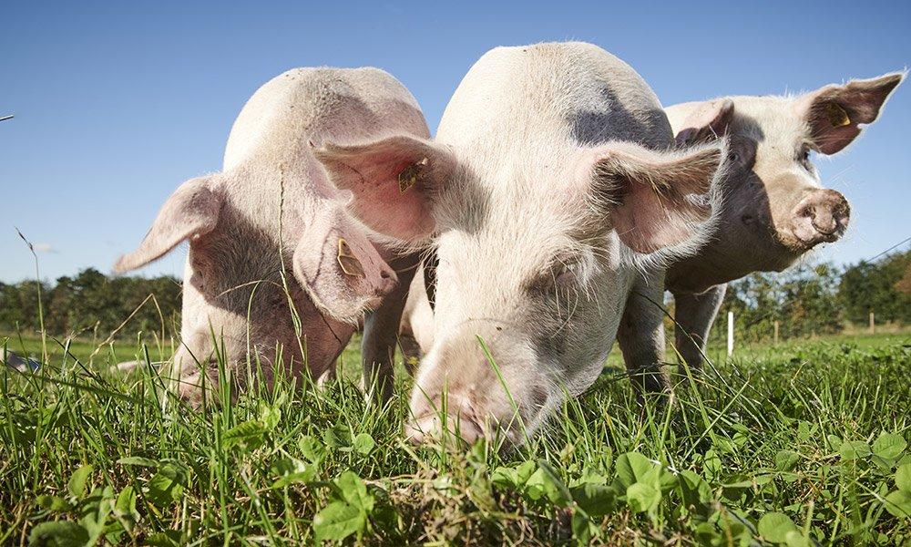 Badisches Landschwein der Metzgerei Bräunling